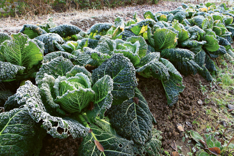 Gemüse aus dem eigenen Garten: Teil 2 – Wintergemüse